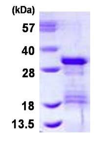 SDS-PAGE - VTI1B protein (ab126685)