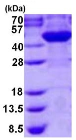 SDS-PAGE - Cyt 19 protein (His tag) (ab126694)