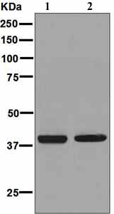 Western blot - Anti-Prostaglandin F2 alpha Receptor antibody [EPR5844] (ab126709)