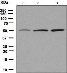 Western blot - Anti-EEF1G antibody [EPR7201] (ab126716)