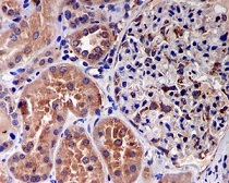 Immunohistochemistry (Formalin/PFA-fixed paraffin-embedded sections) - Anti-EEF1G antibody [EPR7201] (ab126716)