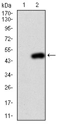 Western blot - Anti-PI 3 Kinase catalytic subunit alpha antibody [4F3] (ab126819)