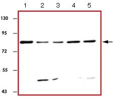 Western blot - Anti-STAT3 antibody (ab126834)