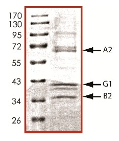 SDS-PAGE - PRKAA2 + PRKAB2 + PRKAG1 protein (Active) (ab126911)