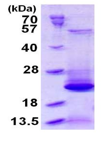 SDS-PAGE - BLOC1S2 protein (ab126912)