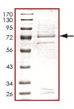 Western blot - CKI gamma 3 protein (Active) (ab126925)