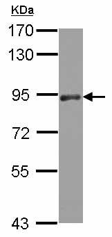 Western blot - Anti-PAPOLA antibody (ab126934)