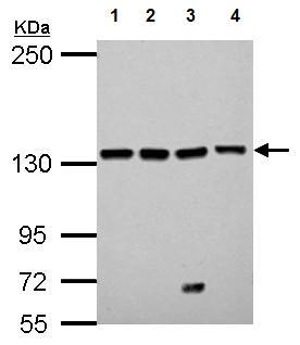 Western blot - Anti-Leucyl tRNA synthetase antibody (ab127754)
