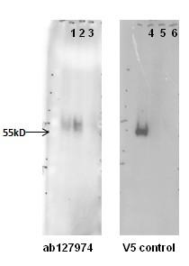 Western blot - Anti-Antizyme inhibitor 1 antibody [76.1_1E5] (ab127974)