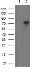 Western blot - Anti-PADI4 / PAD4 antibody [4H5] (ab128086)