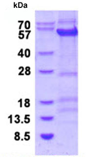 SDS-PAGE - Cyclin B1 protein (ab128445)
