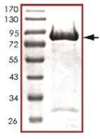SDS-PAGE - PTP epsilon protein (Active) (ab128555)