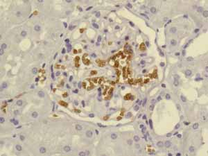 Immunohistochemistry (Formalin/PFA-fixed paraffin-embedded sections)-Anti-Glycophorin A antibody [EPR8200](ab129024)