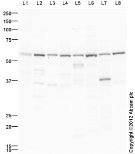 Western blot - Anti-ATP5A antibody (ab129121)