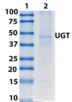 Immunoprecipitation - Anti-UGT antibody [7H2AF11] (ab129729)