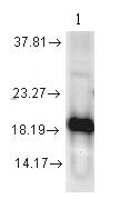 Western blot - Superoxide Dismutase 1 antibody (ab13499)