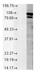 Western blot - Calnexin - ER membrane marker antibody - ER Marker (ab13505)