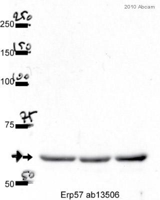 Western blot - ERp57 antibody [MaP.Erp57] (ab13506)