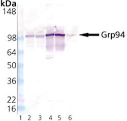 Western blot - GRP94 antibody - ER Marker (ab13509)