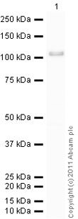 Western blot - Anti-GRP94 antibody - ER Marker (ab13509)