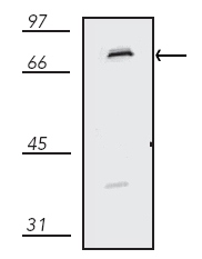 Western blot - Cytochrome P450 Reductase antibody (ab13513)