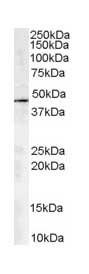 Western blot - ACTR1A antibody (ab13796)