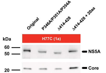 Western blot - Anti-Hepatitis C Virus NS5a antibody [H26] (ab13833)