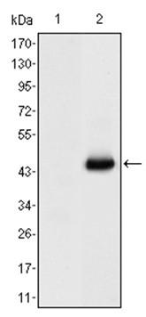 Western blot - Anti-CEACAM7 antibody [3G12] (ab130211)