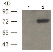 Western blot - Anti-ATF2 (phospho T69 + T51) antibody (ab131106)