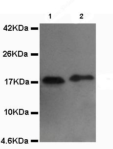 Western blot - Anti-COXIV Isoform 2 antibody (ab131177)