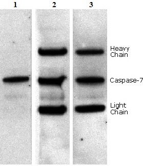 Western blot - Anti-mouse IgG VeriBlot for IP secondary antibody (HRP) (ab131368)