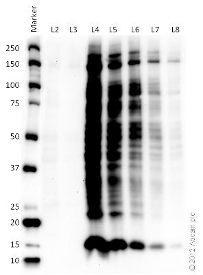 Western blot - Human Liver Tissue Lysate (ab131380)