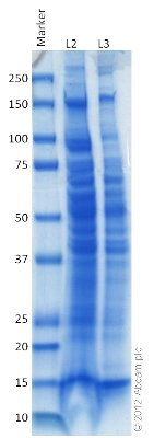 SDS-PAGE - Human Liver Tissue Lysate (ab131380)