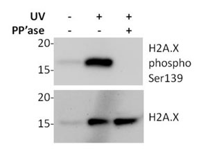 Western blot - H2A.X pSer139 In Cell ELISA Kit (IR) (ab131382)