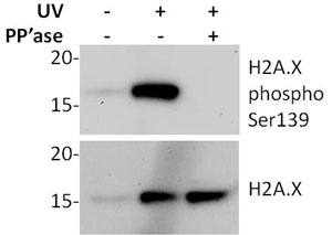 Western blot - H2A.X pSer139 + Cleaved-PARP In Cell ELISA Kit (IR) (ab131383)