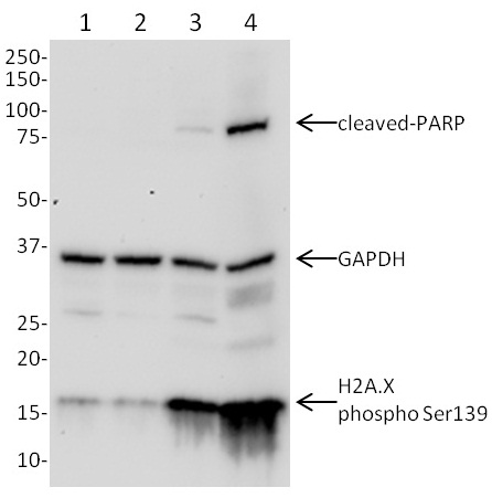 Western blot - Anti-GAPDH + H2A.X(S139) +cleaved-PARP (phospho S139) antibody (ab131385)