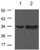 Western blot - Anti-CDK1 antibody (ab131450)
