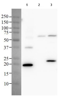 Western blot - Anti-Caspase-9 antibody [D10CG8] (ab133981)