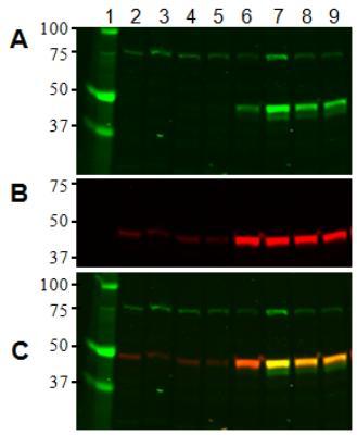 Western blot - p53 (Acetyl K382) Human ELISA Kit (ab133987)