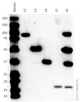 Western blot - Organelle Detection Western Blot Cocktail (ab133989) - Component Separation