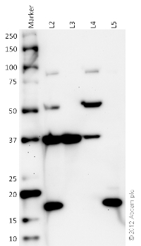Western blot - Organelle Detection Western Blot Cocktail (ab133989) - Cell Fractions