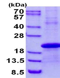 SDS-PAGE - Stella protein (His tag) (ab134623)