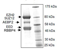 SDS-PAGE - EZH2 + EED + SUZ12 + AEBP2 + RBBP4 protein (Mutated Y646 C) (Tagged-His Tag) (ab135011)