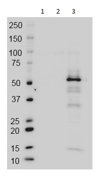 Western blot - Anti-GAL4 antibody [14-7E10G10] - Active Domain (ab135398)