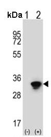 Western blot - Anti-HuR / ELAVL1 antibody (ab135740)
