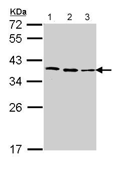 Western blot - Anti-Fibrillarin antibody (ab137422)