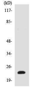 Western blot - Anti-TCEAL6 antibody (ab138161)