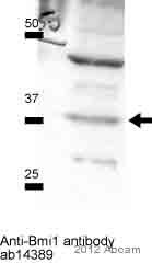 Western blot - Anti-Bmi1 antibody [1.T.21] - ChIP Grade (ab14389)