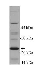 Western blot - Bid antibody (ab14436)