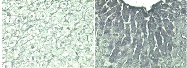Immunohistochemistry (Frozen sections) - PADPR antibody [10H] (ab14459)